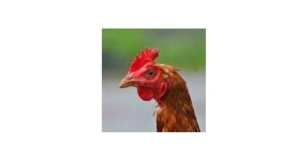 Groene stroom uit kippenmest