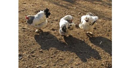 'Het voeren van de kippen bepaalt of je de crisis overleeft'