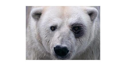 IJsberen steeds verder in het nauw
